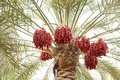 Beautiful clusters of red dates are fruits that have been a staple food the middle east for thousands years Royalty Free Stock Photo