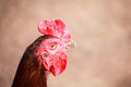 beautiful cock Royalty Free Stock Photo