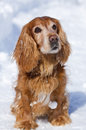 Beautiful cocker spaniel in winter Royalty Free Stock Photo