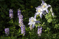 Beautiful colorado alpine columbine flowers along vail mountain hiking trail the state flower called or rocky grows a summer in Royalty Free Stock Photo