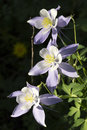Beautiful colorado alpine columbine flowers along vail mountain hiking trail the state flower called or rocky grows a summer in Royalty Free Stock Images
