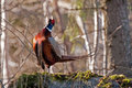 The beautiful colored male pheasant phasianus colchicus in a typical action when he performs his mating call the body plumage is Royalty Free Stock Photo