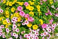 Beautiful colorful blooming petunia background full screen Royalty Free Stock Photo