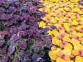 Beautiful Colorful Coleus Garden Plants. Stock Photography