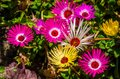 Beautiful and colorful ice plant flowers in bloom, nature background, popular tropical ornamental garden plant Royalty Free Stock Photo