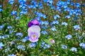 Colorful pansy growing in the garden among blue forget-me-nots