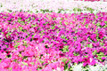 Beautiful colorful petunias on the flower field Stock Photo
