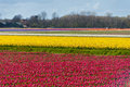 Beautiful colorful tulip field Stock Images