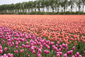 Beautiful colorful tulip fields in the Netherlands Royalty Free Stock Photography