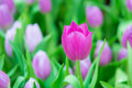 Beautiful colorful Tulip flower Royalty Free Stock Photo
