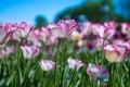 Beautiful colorful tulip