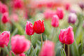 Beautiful colorful tulips in garden chiang mai thailand Stock Photo