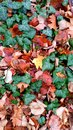 Beautiful colors of autumn colorful leaves in the forest in Royalty Free Stock Images