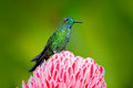 Beautiful colour scene from nature. Green-crowned Brilliant hummingbird, Heliodoxa jacula, near pink bloom with pink flower backgr Royalty Free Stock Photo