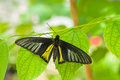 Beautiful common birdwing butterfly troides helena in natural habitat Stock Image