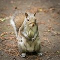 A beautiful common squirrel in a Londons park looking for food. Royalty Free Stock Photo
