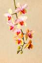 Beautiful composition of blooming twig orchid flower, phalaenops Royalty Free Stock Photo