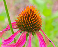Beautiful cone flower echinacea up close Royalty Free Stock Photo