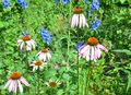 Beautiful coneflower or purple echinacea on summer bee-friendly flower bed. Royalty Free Stock Photo