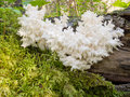 Beautiful coral spine fungus coral hericium or hericium coralloides is an delicious edible white mushroom looking like icicles Stock Photo