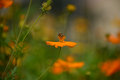 A beautiful cosmos flowers field with bee worker Royalty Free Stock Photo