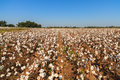 Beautiful cotton field in alabama Royalty Free Stock Photography