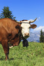 Beautiful cow in french alps landscape Royalty Free Stock Image