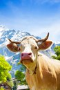 Beautiful cow s muzzle closeup of brown switzerland on the field looking at camera Stock Photo