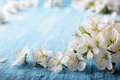 Beautiful crab plum tree blossoms against a blue background.. Royalty Free Stock Photo