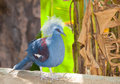 The beautiful of Crowned Pigeon (Goura cristata ) bird Stock Photo