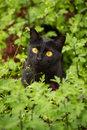 Beautiful cute black cat portrait with yellow eyes and attentive look in green grass and flowers in nature