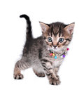 Beautiful cute one month old kitten with jingle bells necklace walking Royalty Free Stock Photo