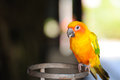 Beautiful cute red breasted parakeet Royalty Free Stock Photo