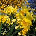 Beautiful daffodils in spring garden Stock Images