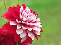 Beautiful dahlia flower, gardening Stock Photo
