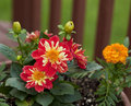 Beautiful Dahlia and Flowers Royalty Free Stock Image