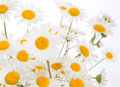 Beautiful daisies camomile flowers isolated on white background Royalty Free Stock Photography