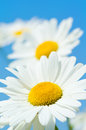 Beautiful daisy close-up Royalty Free Stock Photos