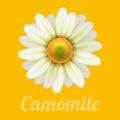 Beautiful daisy flower camomile.