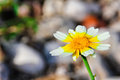 Beautiful daisy flower close up of the Royalty Free Stock Images