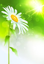 Beautiful daisy flower with leaves. Royalty Free Stock Photos