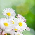 Beautiful daisy flowers close up summer background Royalty Free Stock Photo