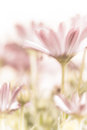 Beautiful daisy flowers fields gentle pink flowers soft focus warm spring nature tender wildflower Stock Photo