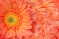 Beautiful daisy gerbera flower Royalty Free Stock Photography
