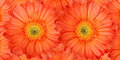 Beautiful daisy gerbera flowers Stock Photo