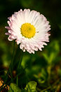 Beautiful daisy on a natural background