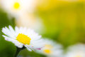 Beautiful daisy in spring meadow with blurry background Royalty Free Stock Image