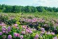 Beautiful Damask Roses in rose garden Royalty Free Stock Photo