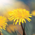 Beautiful dandelion Stock Photos