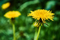 Beautiful dandelion against blurred background a a in the garden of a house Stock Photos